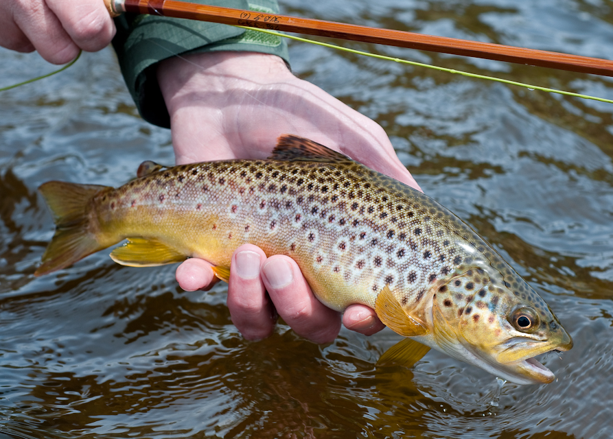 Brown Trout-50