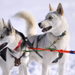 Dog Sled Races Park City Utah