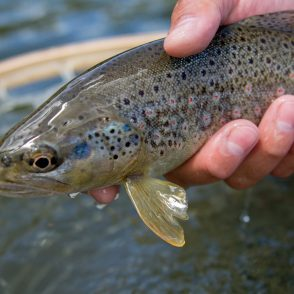 brown trout, provo river