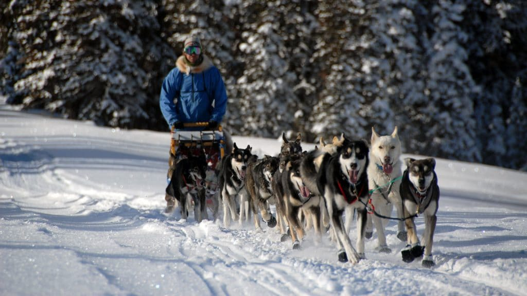 a group of arctic breed dogs pulling a sled and musher