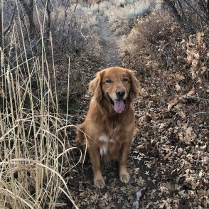 Golden retriever on hiking trail in Park City